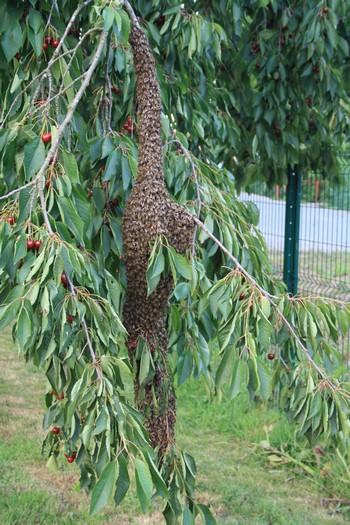 récupération essaim abeille nord pas de calais